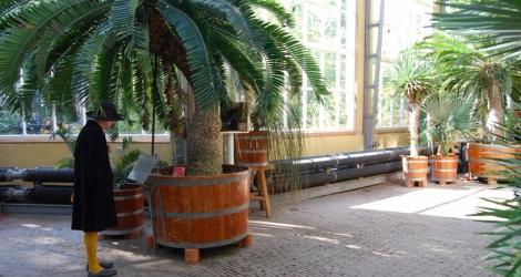 encephalartos-altensteinii_hortusams-omgeving_2893